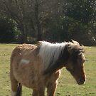 Shetland Pony by Snowkitten