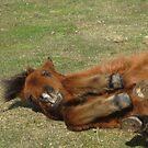 Rolling Pony by Snowkitten