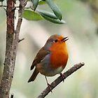 Songbird Robin Redbreast......Lyme Dorset. UK by lynn carter