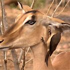 ITS OUR SECRET - BLACK FACED IMPALA - Aepyceros melampus by Magriet Meintjes