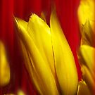 Yellow Tulips on Red by Bev Pascoe