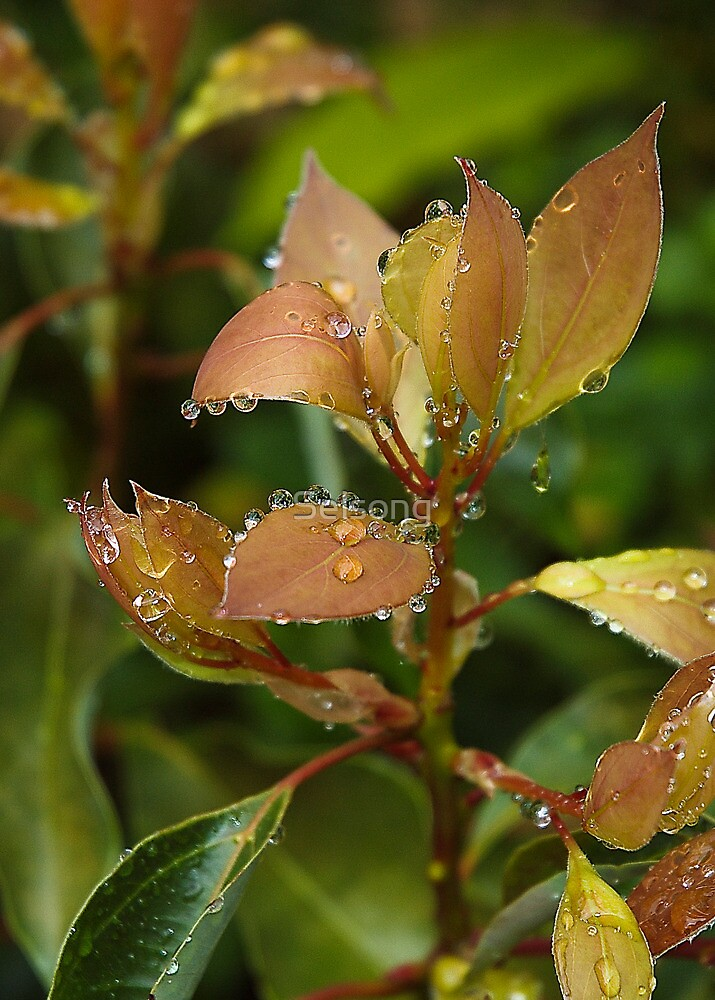 Crown of raindrops by Selsong