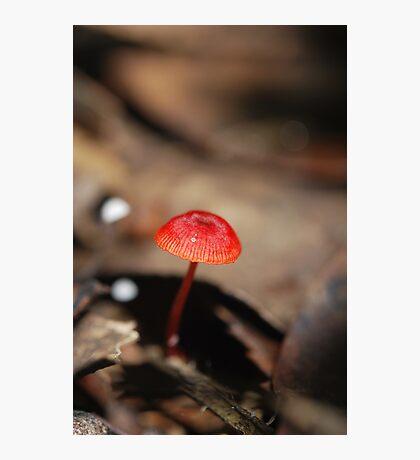 "Mycena viscidocruenta aka ""Ruby Bonnet"" Photographic Print"