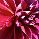 pink dahlia - closer look by Babz Runcie