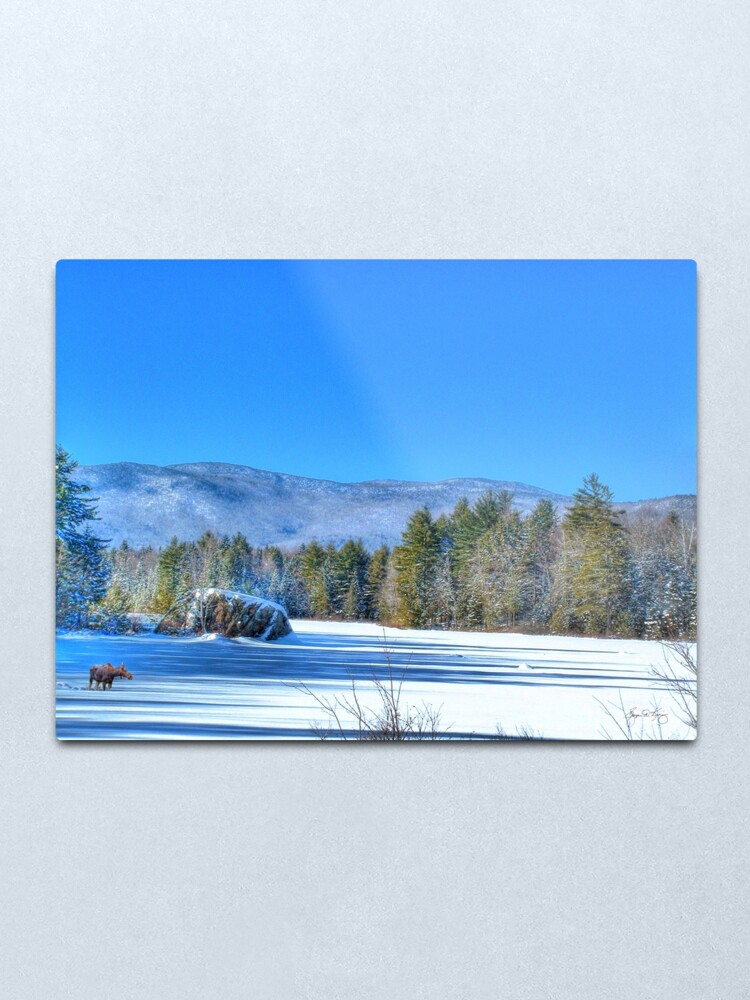 Alternate view of Lone Moose on Robartwood Pond Metal Print