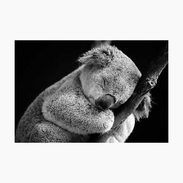 Wake Me Later - Sleeping Koala Photographic Print