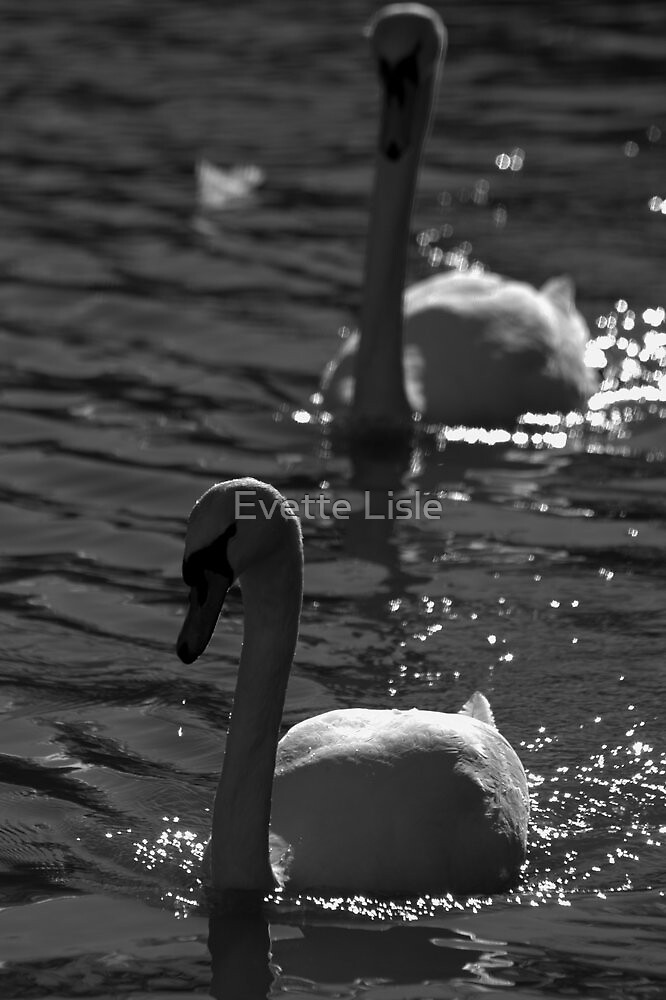 Swans by Evette Lisle