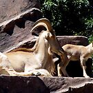 Barbary Sheep and her Baby by elizabethrose05