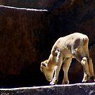 Baby barbary sheep by elizabethrose05