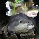Otter- Adelaide zoo by elizabethrose05