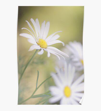 Softly Softly - white daisies Poster