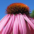 pinker Sonnenhut, Blume, Natur, Himmel, Sonne von rhnaturestyles
