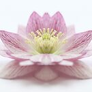 Pink Hellebore Symmetry  by Alyson Fennell