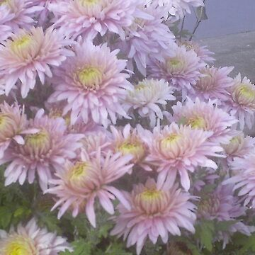Chrysanthemum by fotista