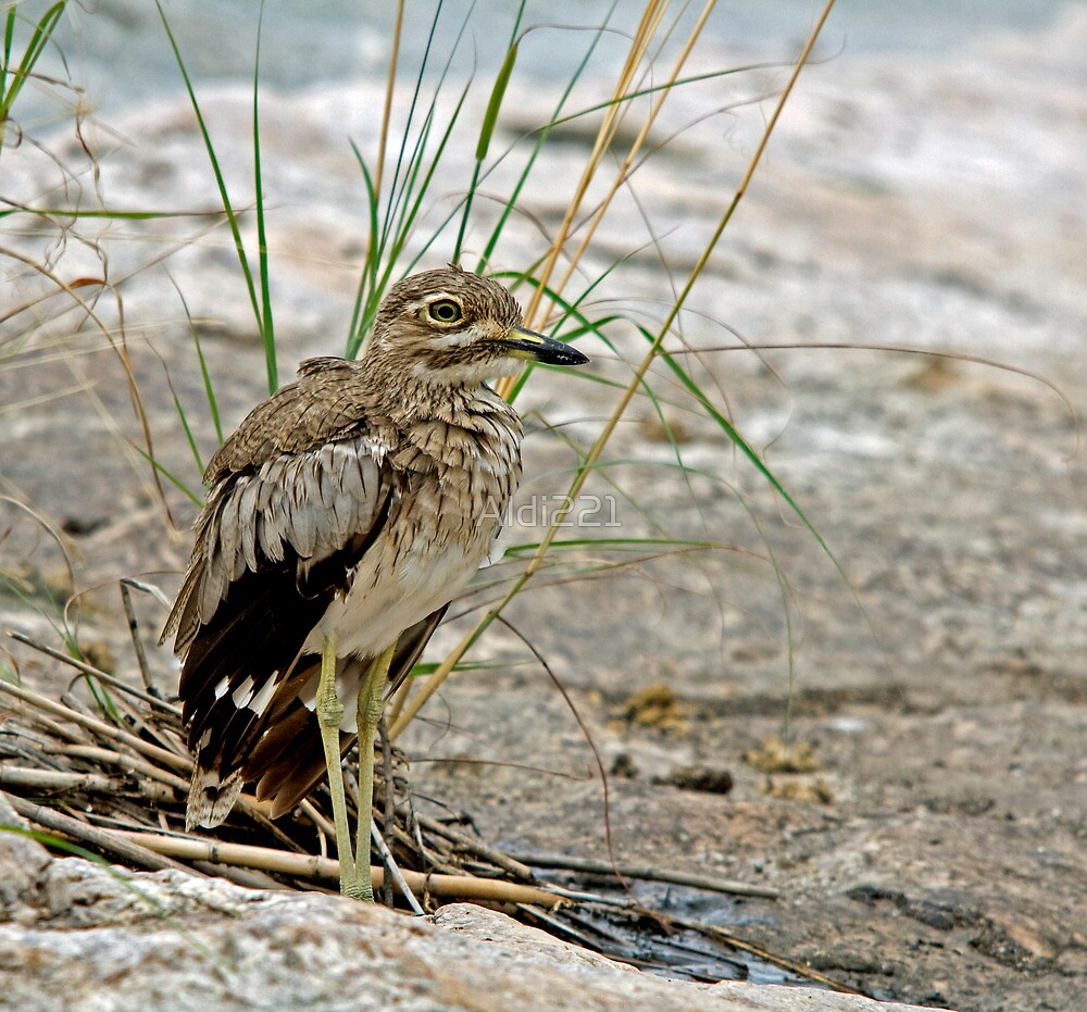 Water Thick-Knee by Aldi221