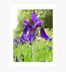 purply blue iris - Royal Botanic Gardens Edinburgh Art Print