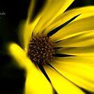 Yellow Daisy by Marilyn Schmidlin