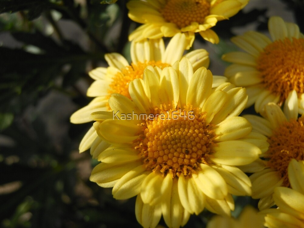 Yellow Mums by Kashmere1646