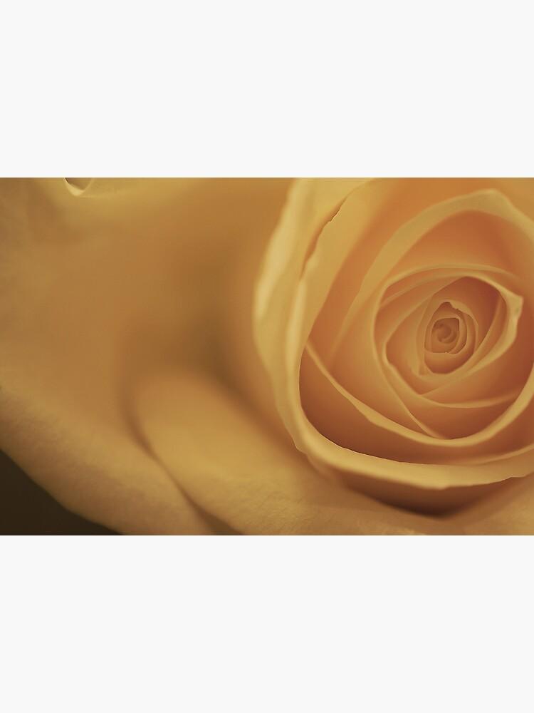 White Rose (off center) by jenseye