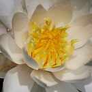TWU Waterlily Macro by Brenda Loveless