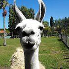 Hello Llama by Kayleigh Walmsley
