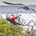 Great Frigate Bird causing a Frigate to stir by Richard Shakenovsky