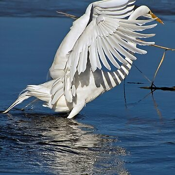 Great White Egret by imagetj