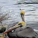 Pair - O - Pelicans by hatterasjack