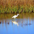 Snowy Egret With Intense Stare by Cynthia48