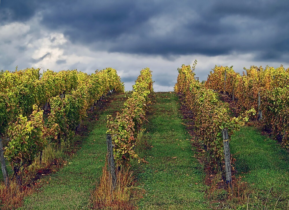 Grapevines in Traverse City by Terry Doyle
