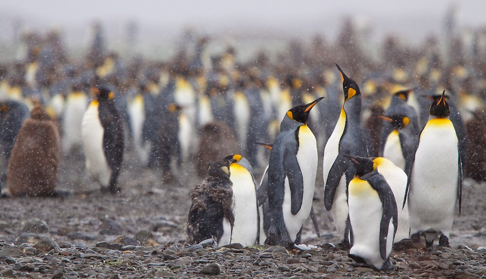 King Penguin Gathering by tara-leigh