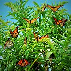 Monarch Migration by DonnaM