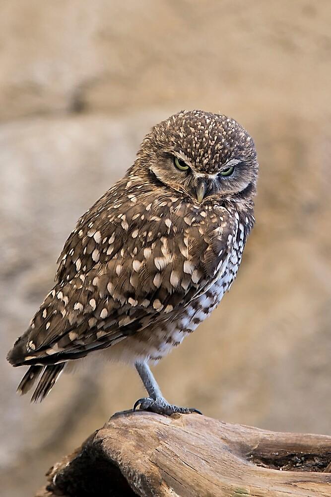 Burrowing Owl by TeresaB