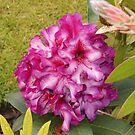 Beautiful Pink Rhodo Blossom by MidnightMelody