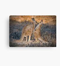 Kissing Kangaroos Canvas Print