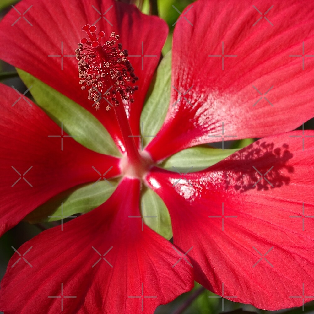 Hibiscus by Steven Guy