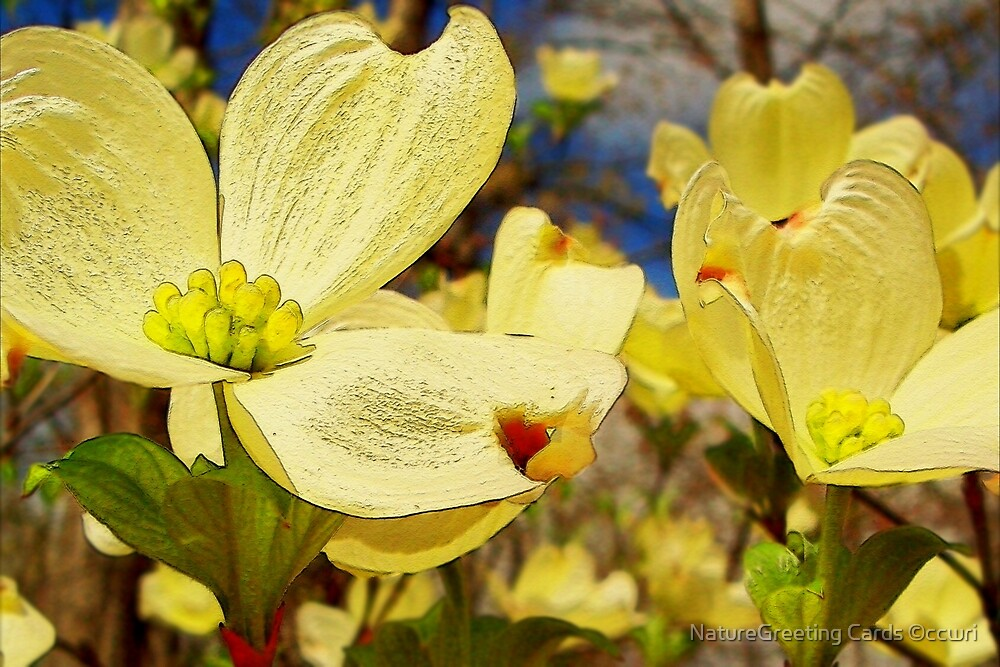Creamy Dogwood Blossoms by NatureGreeting Cards ©ccwri