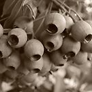 Gumnuts in Sepia by Lozzar Flowers & Art
