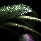 Pearl Tulips. by Vitta