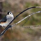Winter Titmouse 1 by Lolabud