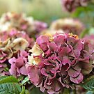 Hydrangea by Maria Meester