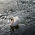 One swan by Sue Frank
