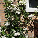 Rosa Annet by Peter Voerman