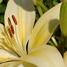 Asiatic lily 2 - my garden by Tracey  Dryka