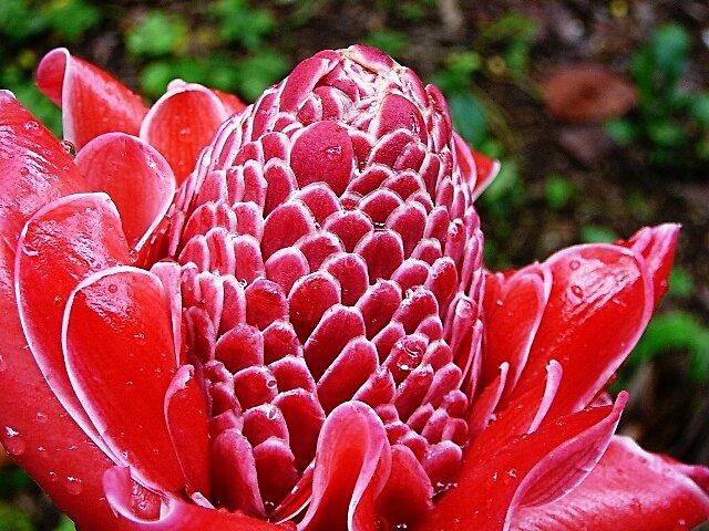 Zingiberacea: Bastón del emperador o flor de cera by Mariadelia