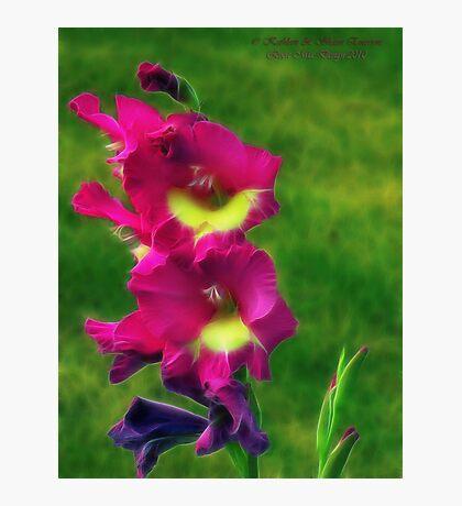 Pink Glads Photographic Print