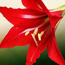Red Lily Flower on Green by DebiDalio