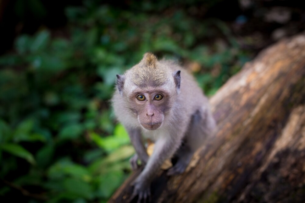 Balinese Macaque. by andrewsparrow