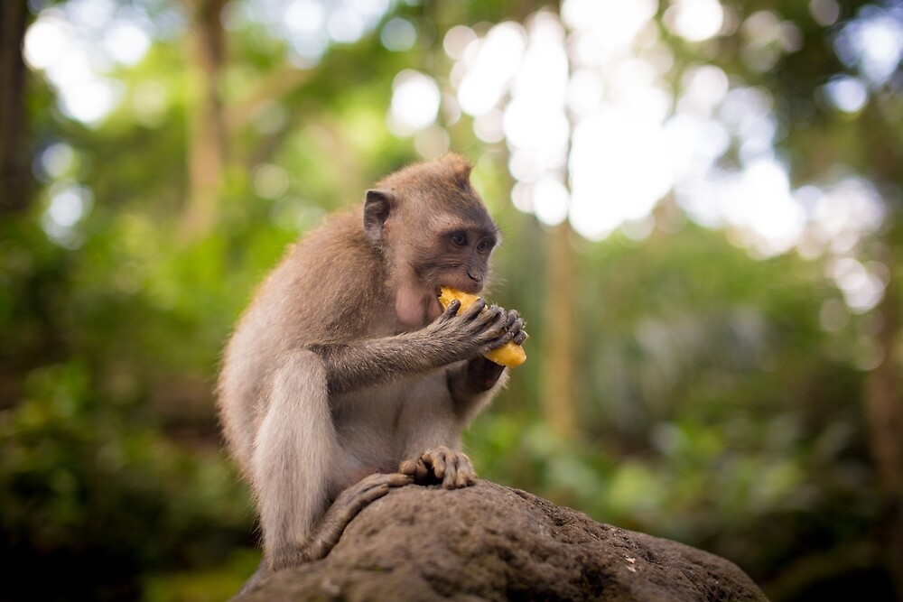 Macaque Eat Mango by andrewsparrow