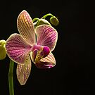 Orchid in the Dark by George Davidson